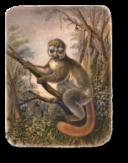 Avahi - Lemur